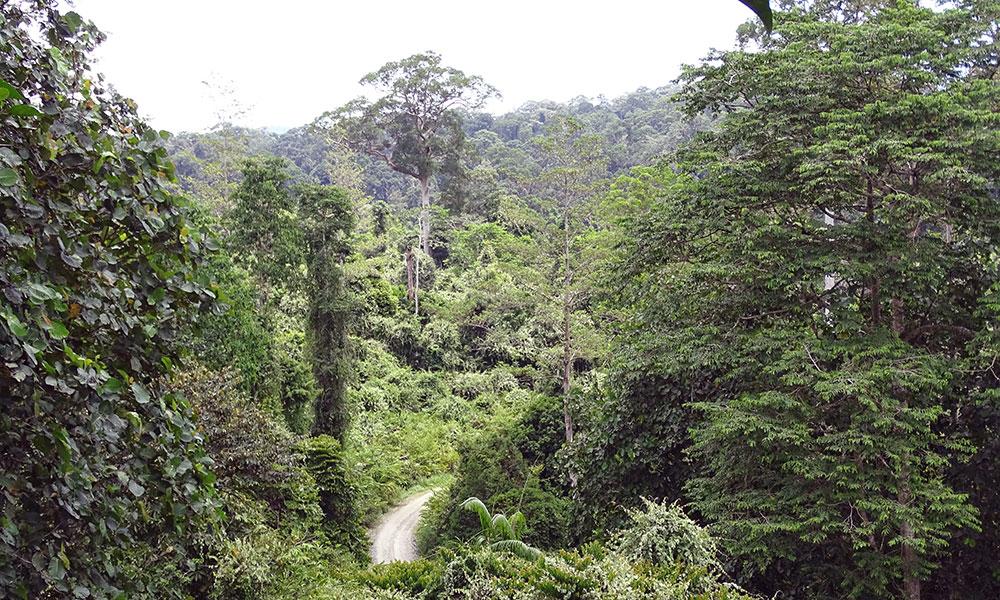 Blick von oben auf den Dschungel des Danum Valley