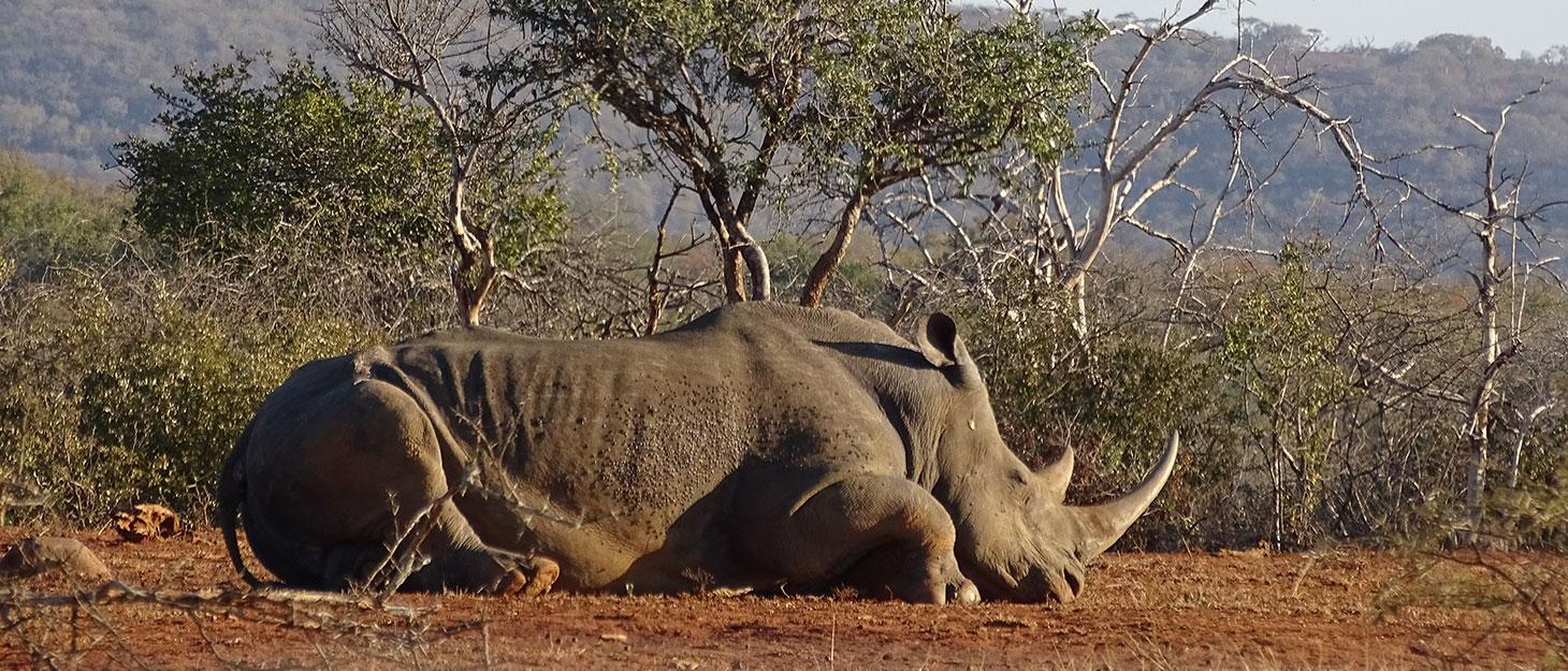 Tierführer: Schlafendes Nashorn in Südafrika