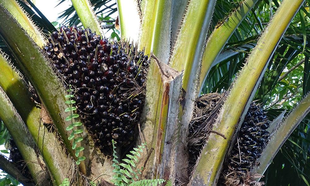 Palmölfrucht am Baum in Borneo