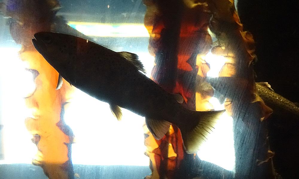 Meerforelle im Aquarium