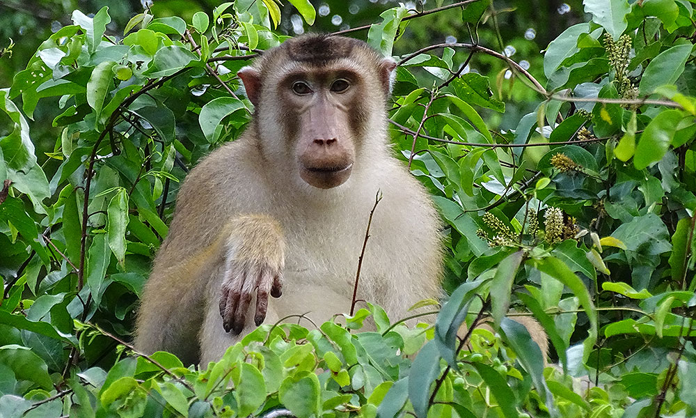 Großer männlicher Affe