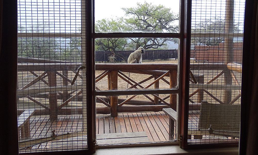 Affe vor dem Fenster im Hluhluwe-iMfolozi-Park