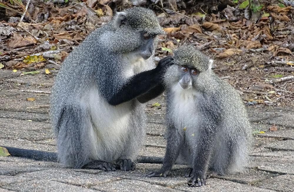 Sich putzende Affen