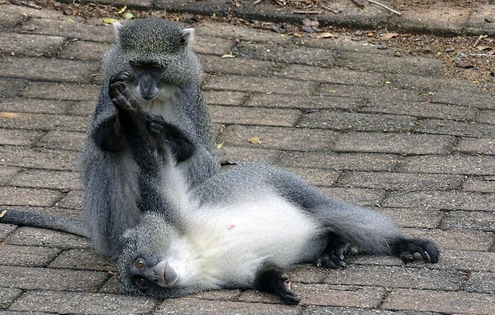 Sich putzende Affen im Hluhluwe-iMfolozi-Park