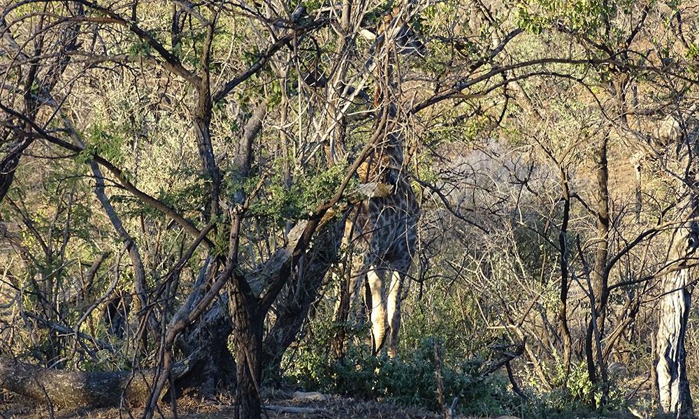 Giraffe hinter einem Baum
