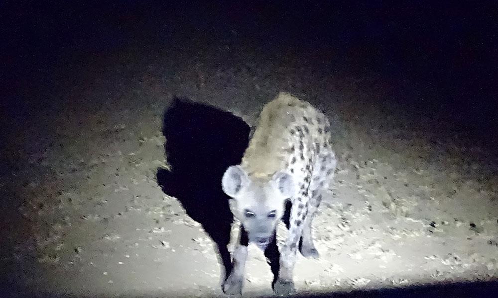 Hyäne im Dunkeln
