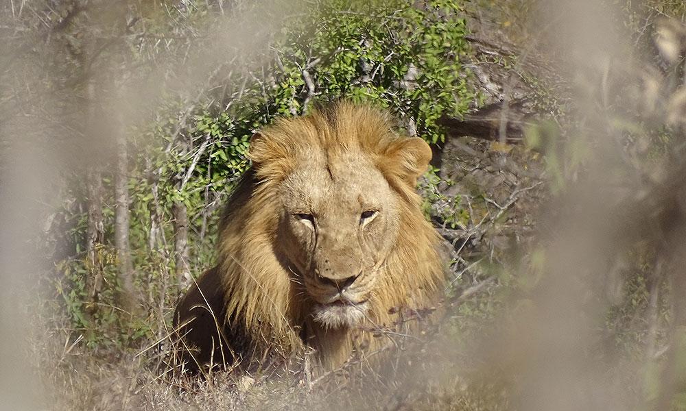Männlicher Löwe im Hluhluwe-iMfolozi-Park