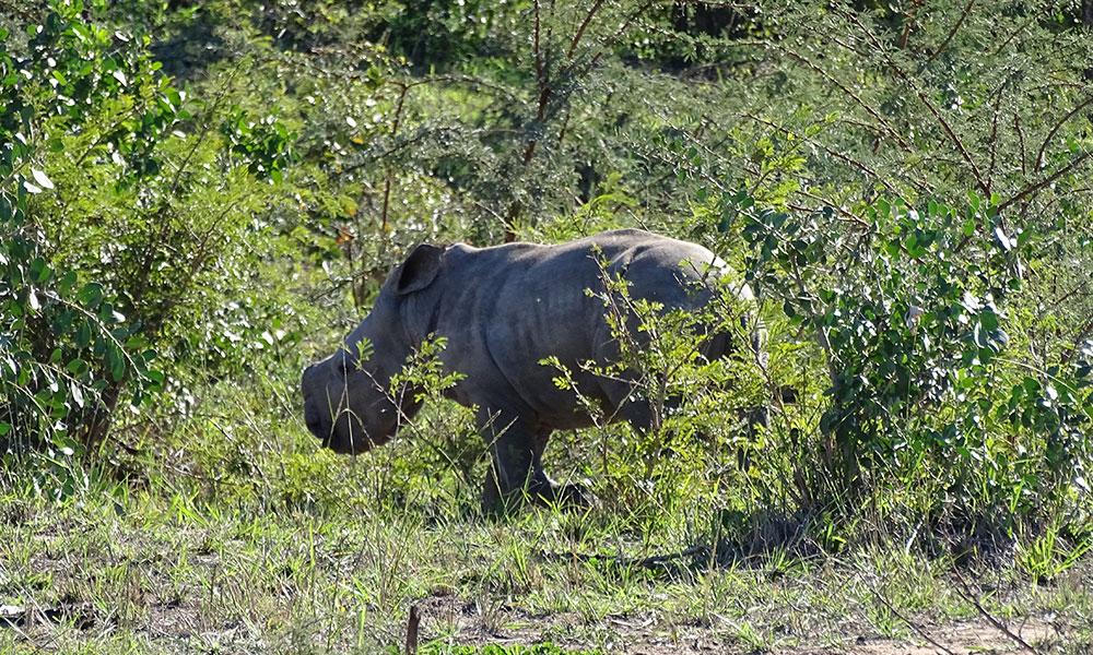 Baby-Nashorn ohne Horn