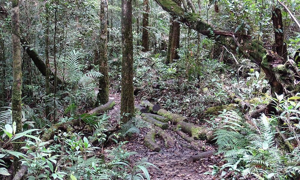 Enger Weg mit Bäumen bei Wandern am Mount Kinabalu