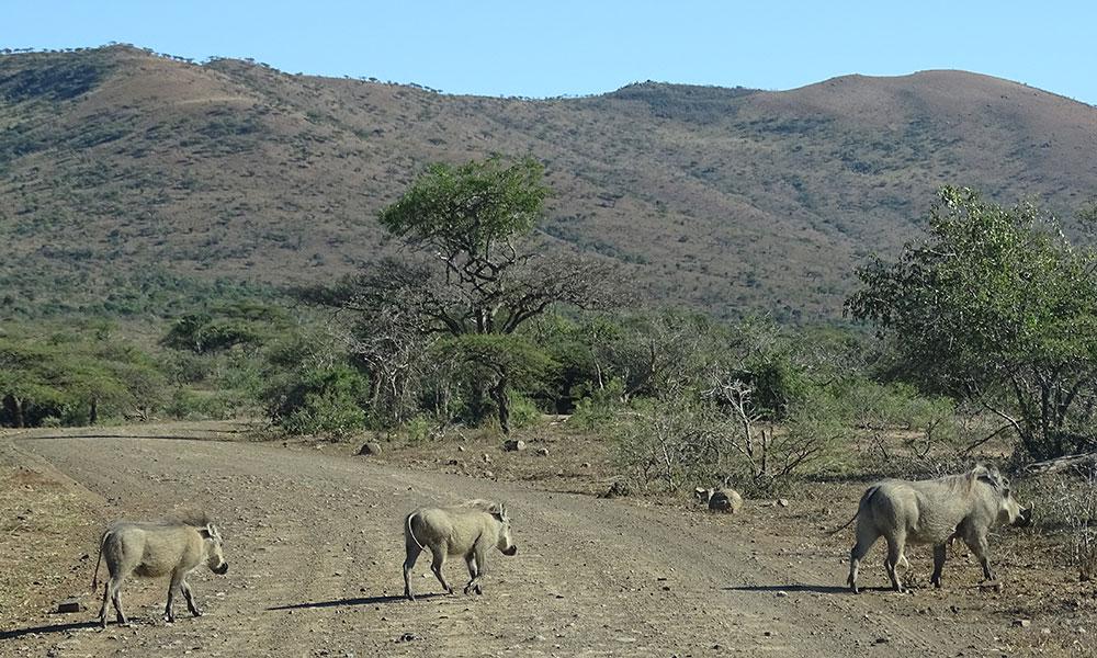 Warzenschweine überqueren Straße
