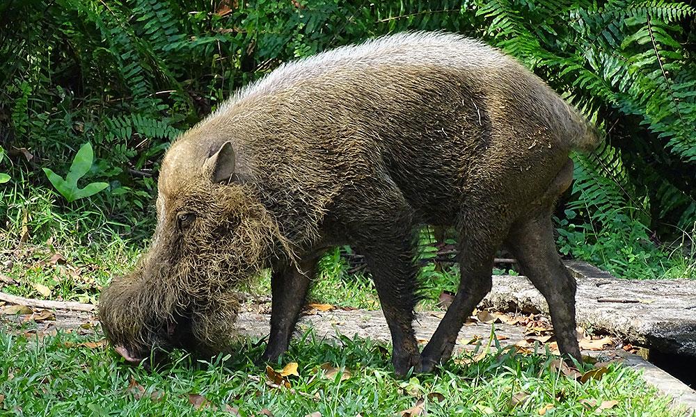 Bartschwein im Bako Nationalpark