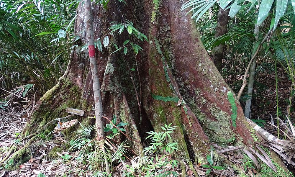 Urwaldbaum im Bako Nationalpark