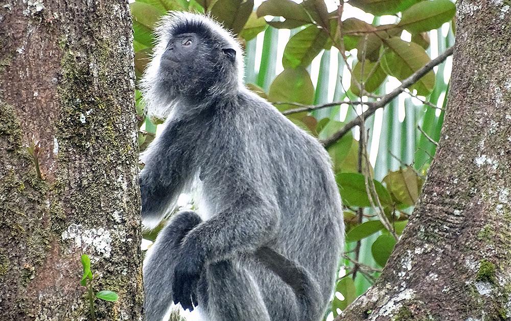Grauer Affe im Bako Nationalpark