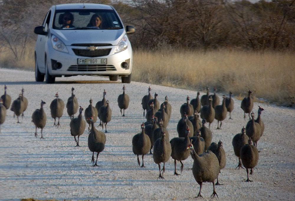 Perlhühnergruppe vor einem Auto