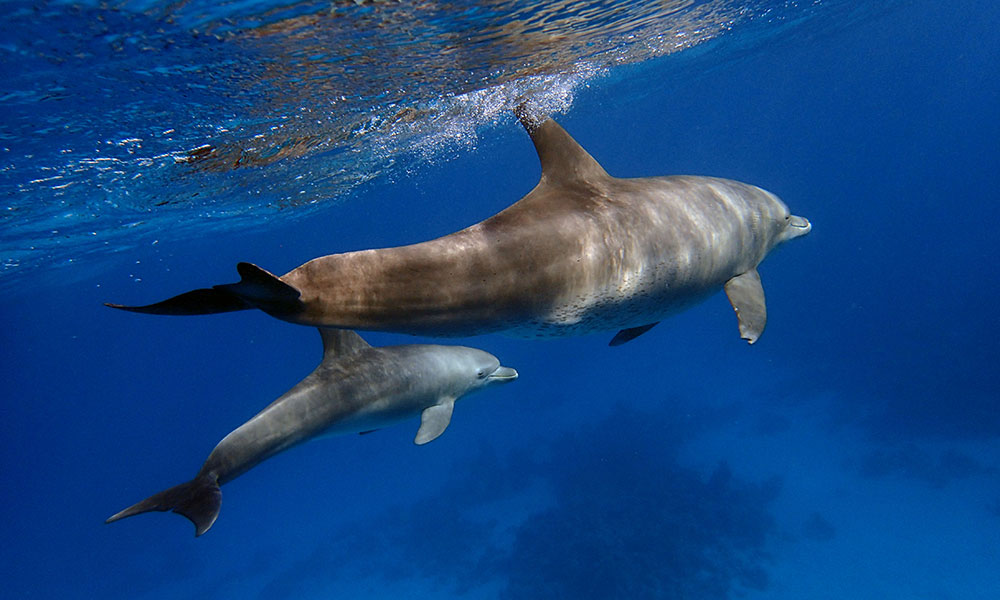 Delfine in Hurghada