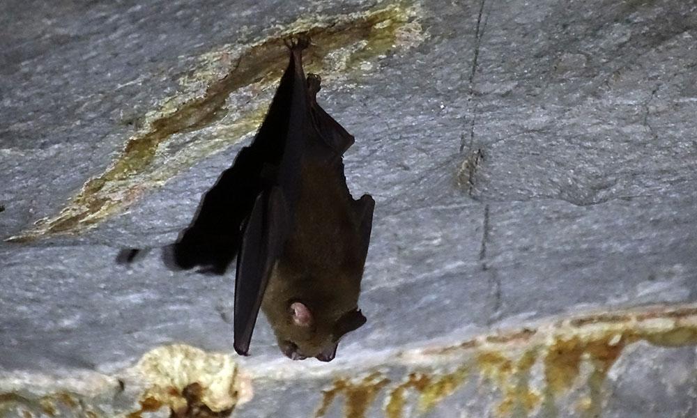 Eine Fledermaus in der Wind Cave