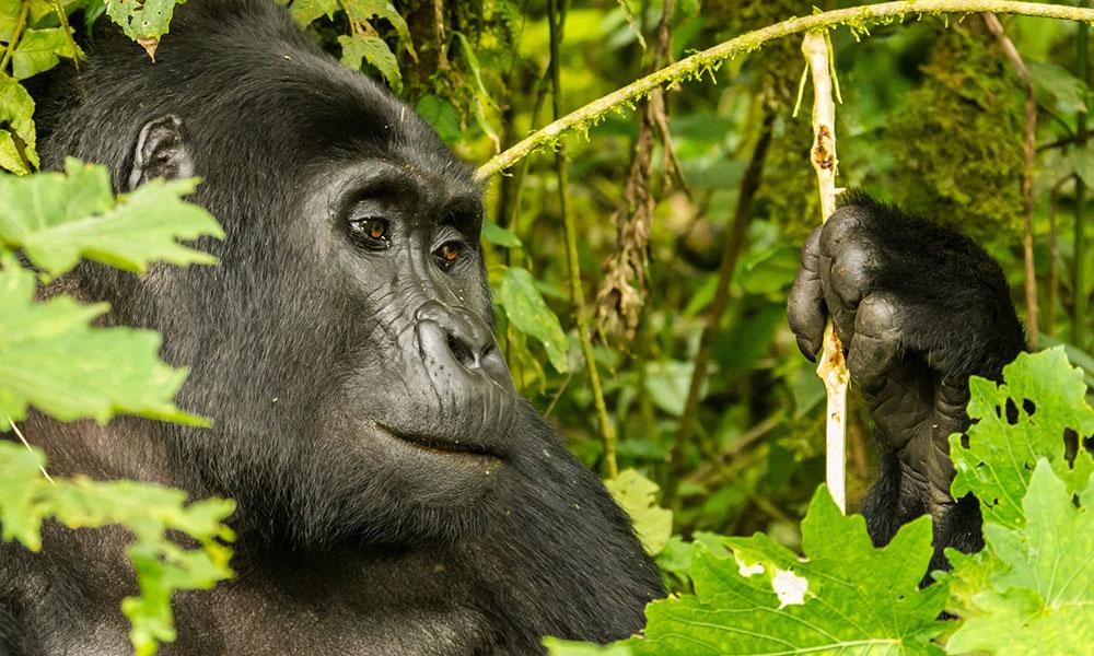 Ein Gorilla in Uganda
