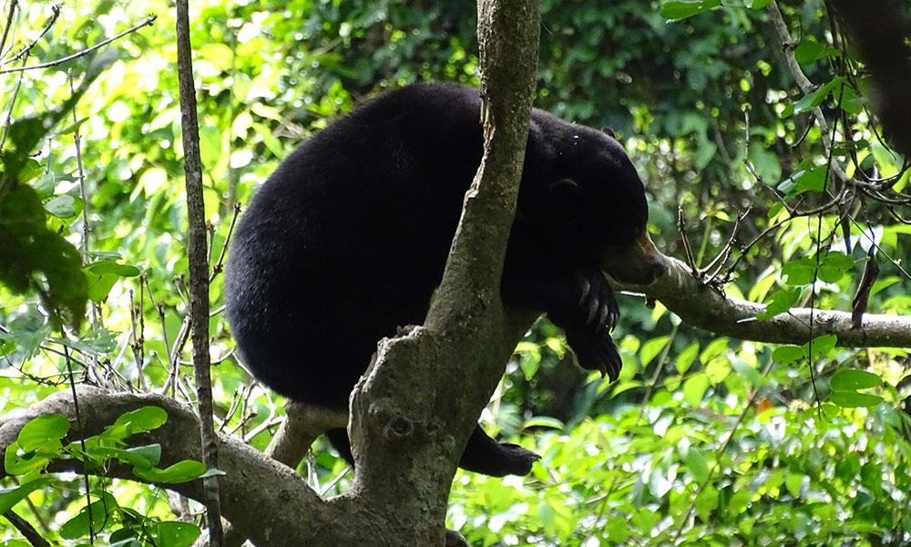 Kragenbär in Borneo