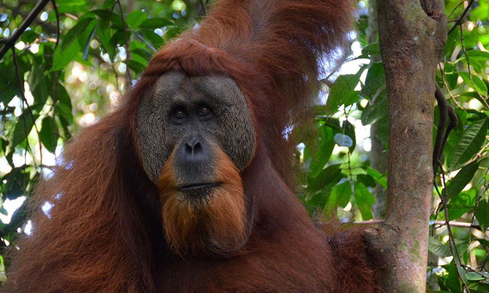 Orang-Utan in Sumatra