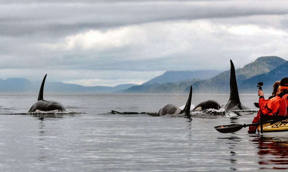 Orcas auf Vancouver Island