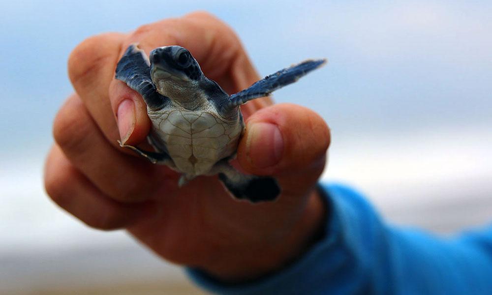Schildkröte in Sukamade