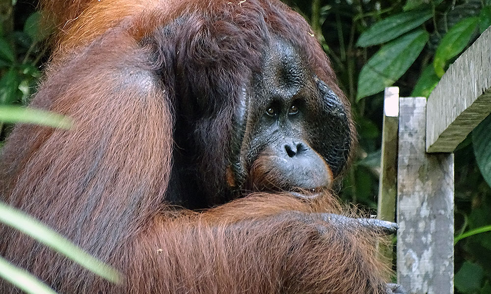 Männlicher Orang-Utan in Semenggoh