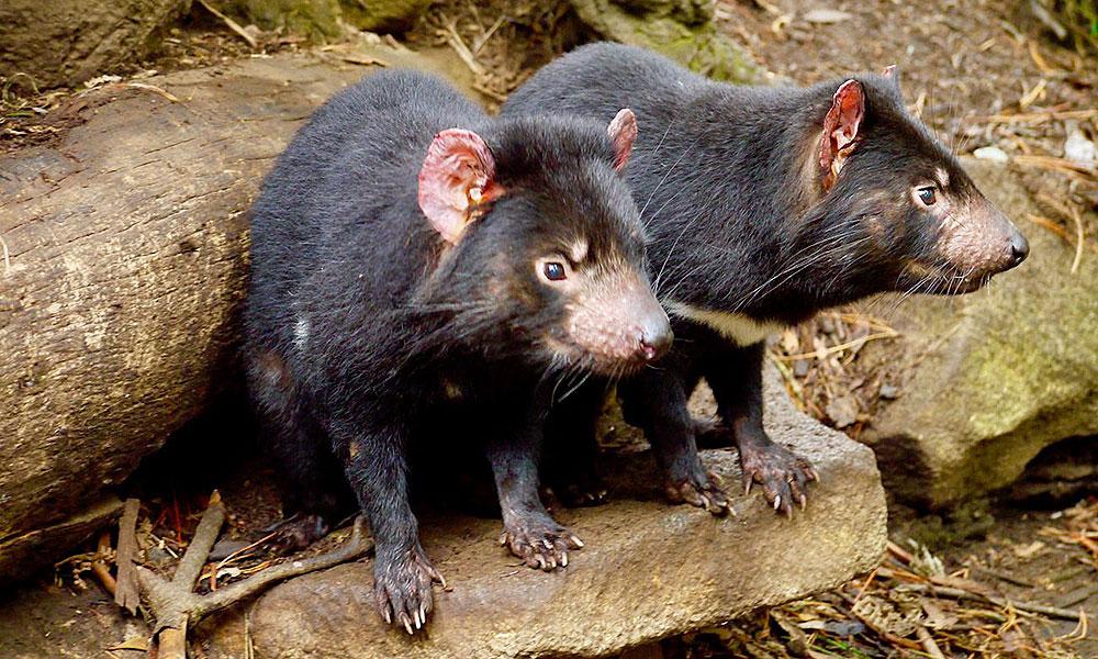 Tasmanische Teufel auf Tasmanien