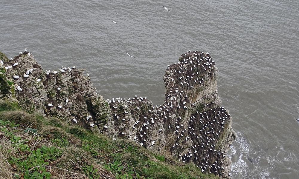 Felsen mit vielen Tölpeln