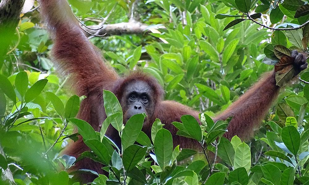 Orang-Utan im Wald in Borneo
