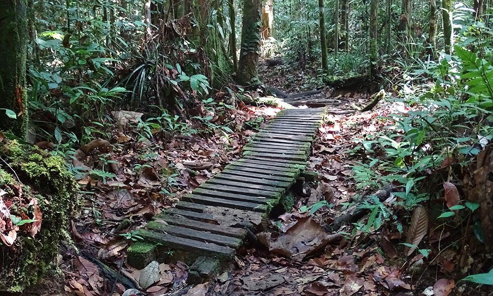 Holzplankenweg im Dschungel in Borneo