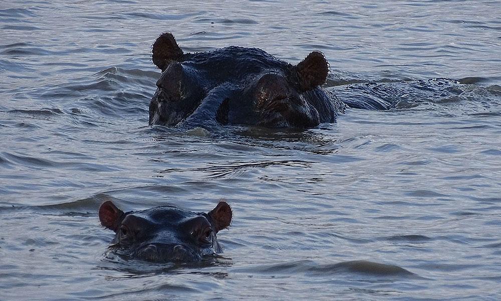 Zwei Flusspferdeim Wasser
