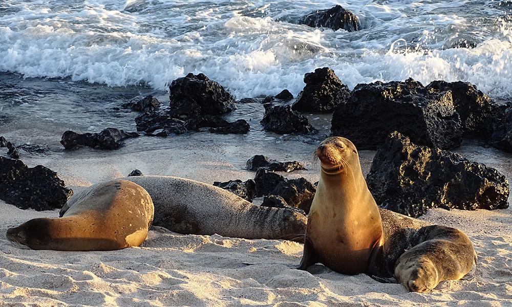 Seelöwen am Strand in Galapagos