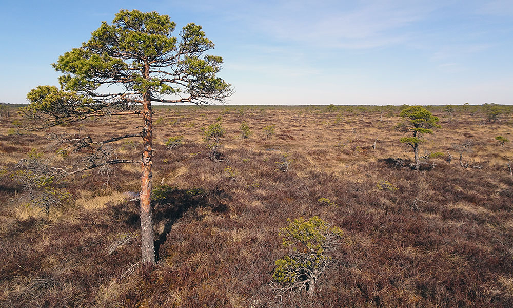 2 Meter hohe Kiefer im Moor
