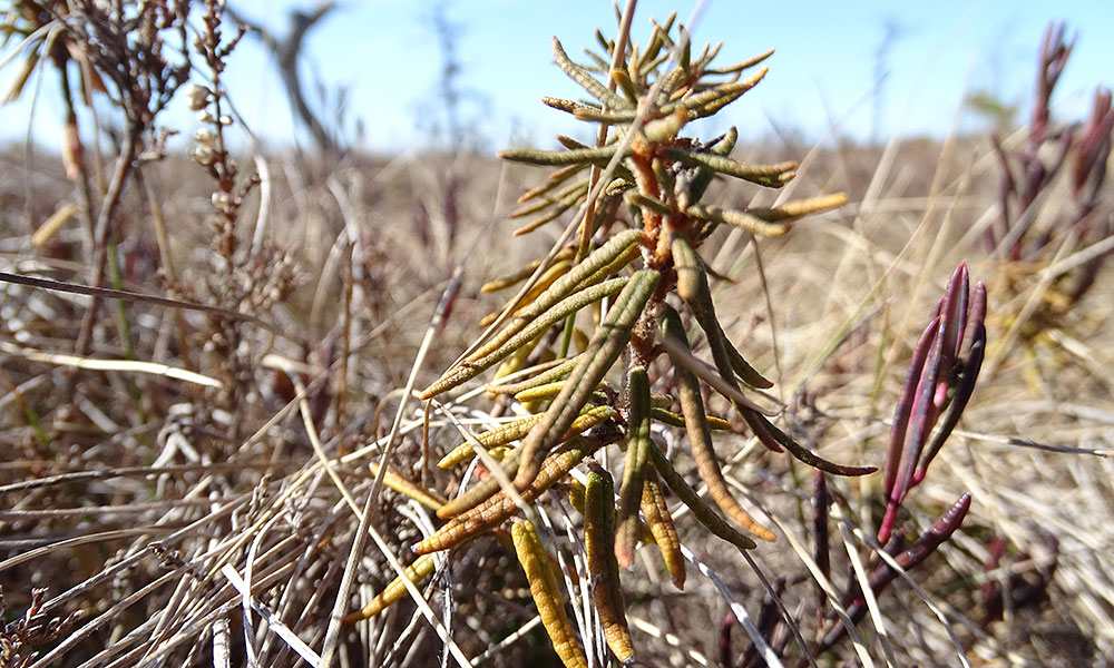 Pflanze im Moor