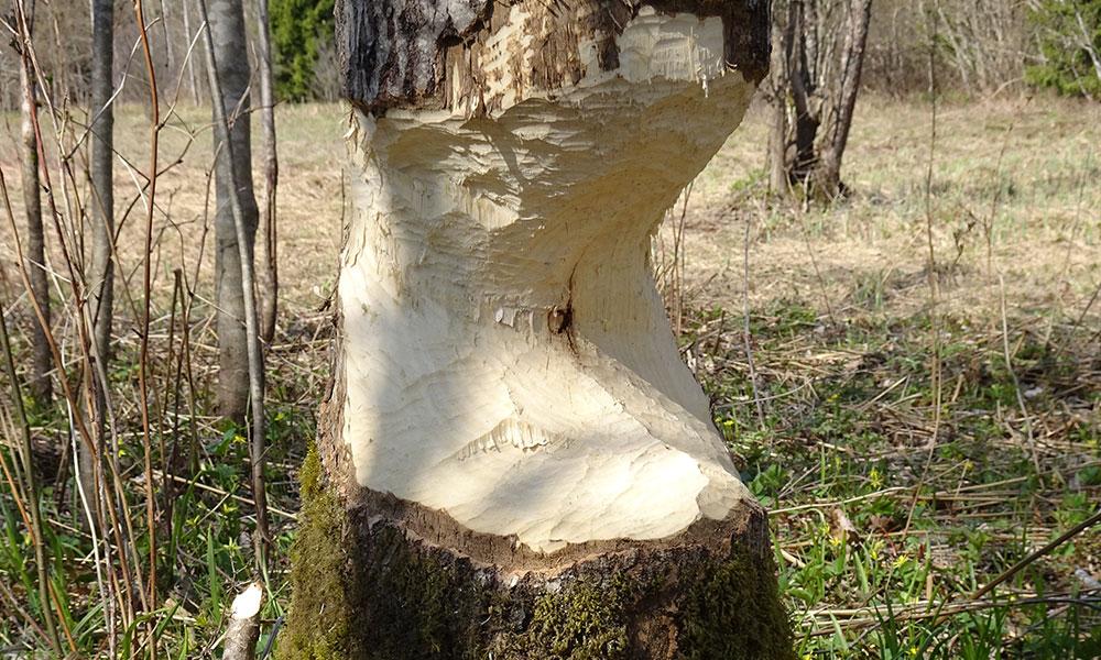 Von Bibern fast durchgefressener Baum