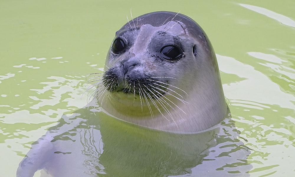 Seelöwe im Pool