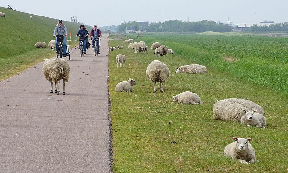 Radfahrer in einer Schafherde