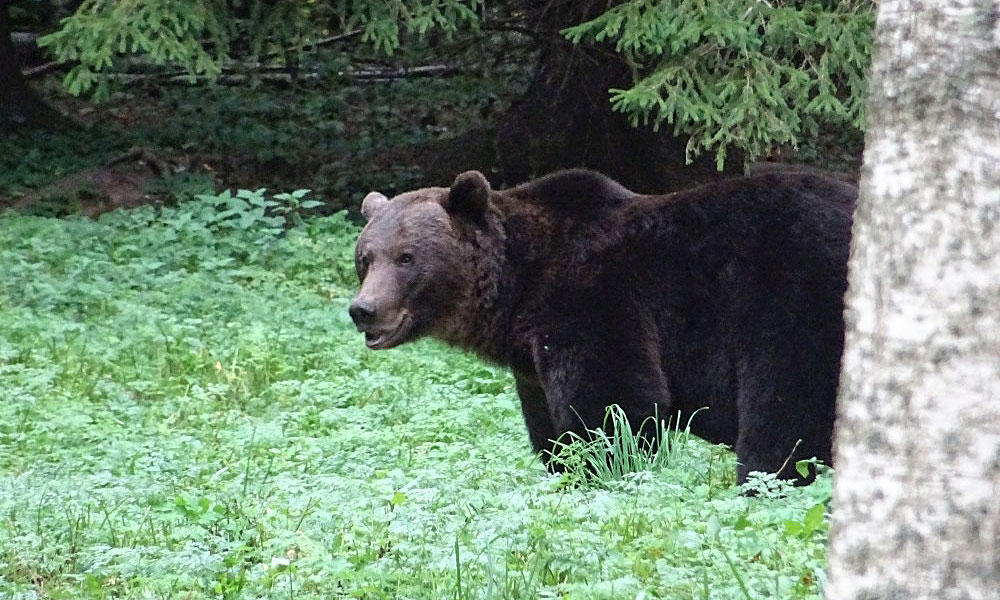 Braunbär im Wald - gesichtet beim Bären beobachten