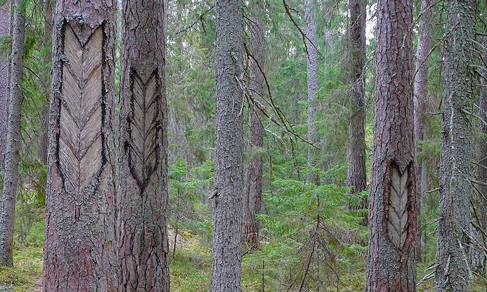 Pfeile in Baumstämme geritzt