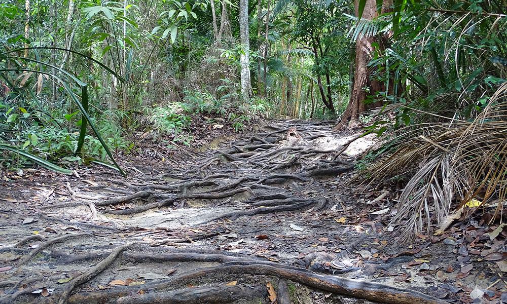 Der Weg durch den Dschungel führt nur über Baumwurzeln und Sandboden