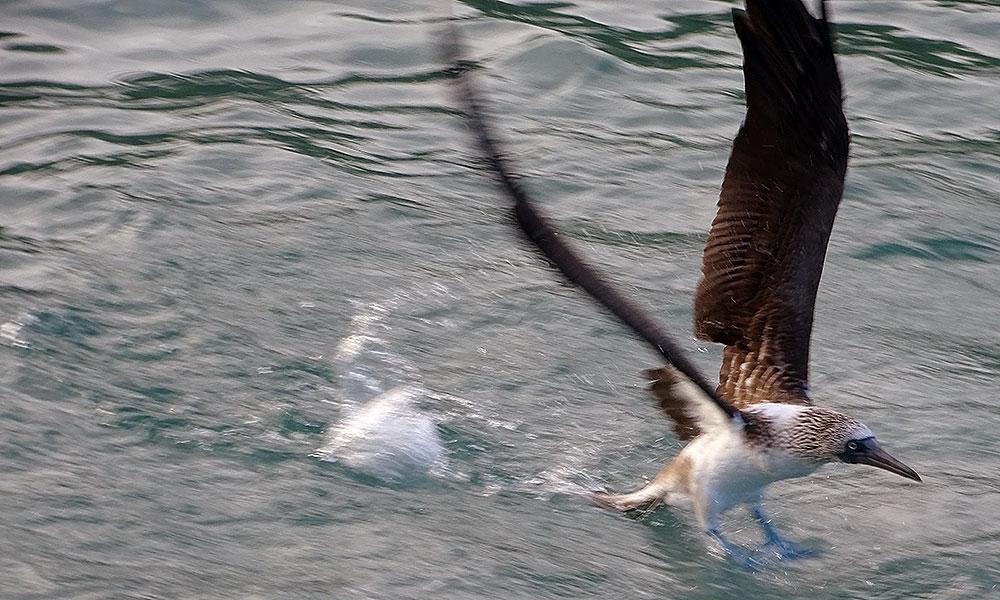 Blaufußtölpel startet aus dem Wasser