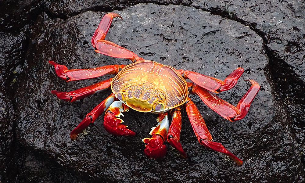 Rote Krabbe auf dem Felsen