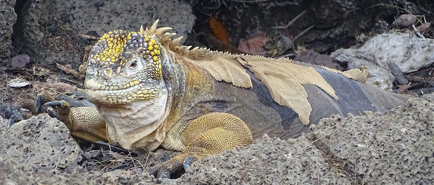 Landechse auf den Galapagos-Inseln
