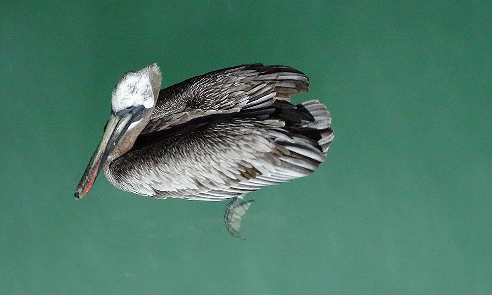 Schwimmender Pelikan von oben fotografiert
