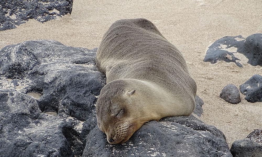 Seelöwe schläft am Strand