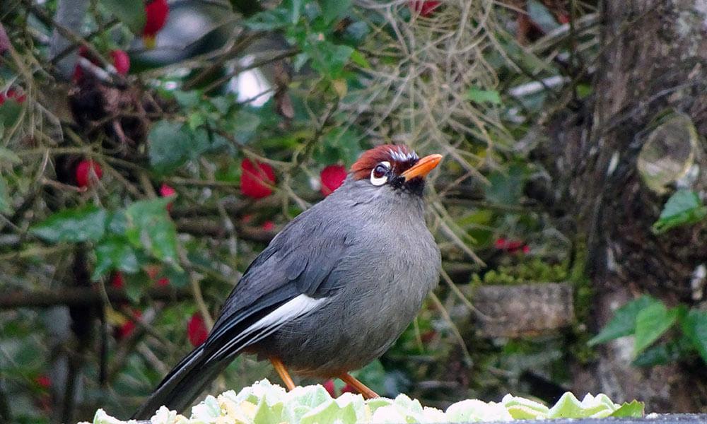 Grauer Vogel mit rotem Kopf