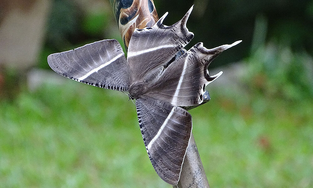 Große graue Motte