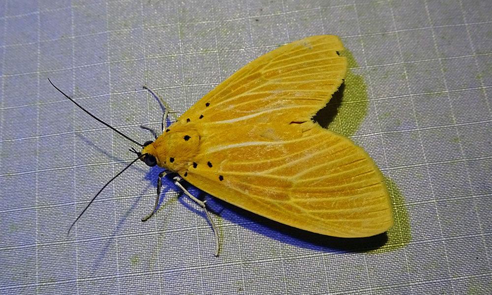 Gelbe Motte