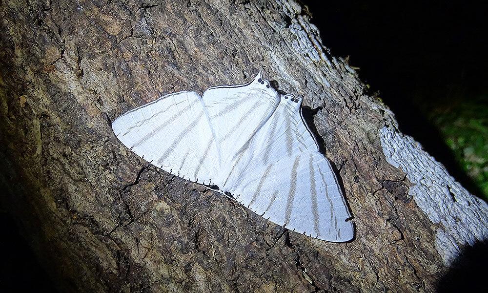 Weiße Motte