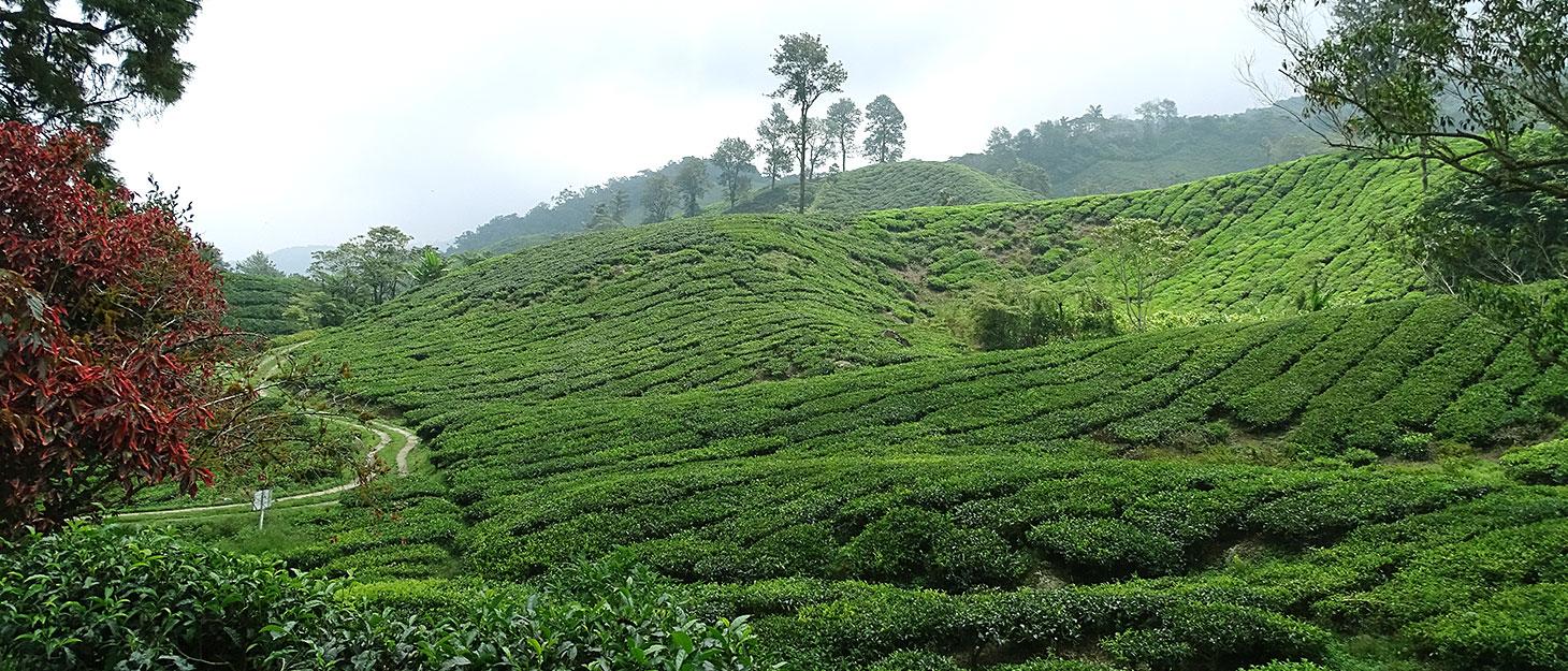 Teefelder in den Cameron Highlands